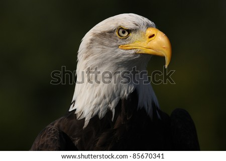 Portrait of a Bald Eagle - stock photo
