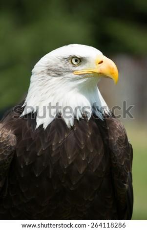 Portrait of a bald eagle (Haliaeetus leucocephalus) - stock photo