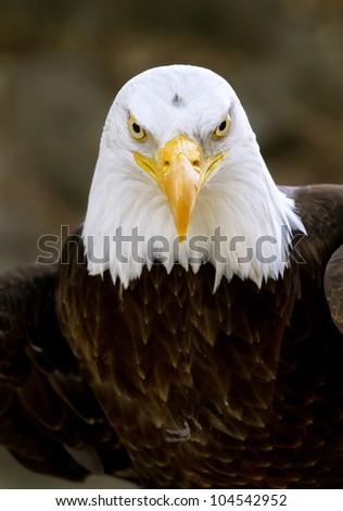 Portrait of a bald eagle (lat. haliaeetus leucocephalus) - stock photo