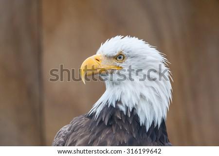 Portrait of a bald eagle (lat. haliaeetus leucocephalus), Alaska,  - stock photo