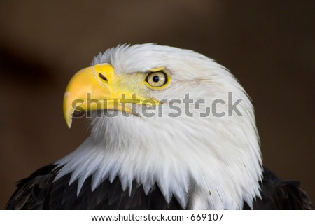 Portrait of a bald eagle. Profile. - stock photo