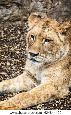 Portrait of a Barbary lion - Panthera leo leo. Animal portrait. Lioness closeup. Atlas lion. Beauty in nature. Critically endangered species. - stock photo