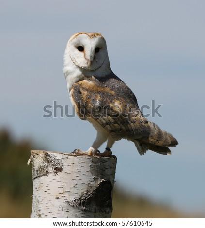 Portrait of a Barn Owl - stock photo