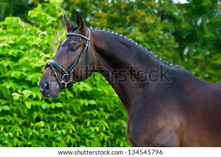 Portrait of a bay hannoverian German stallion - stock photo