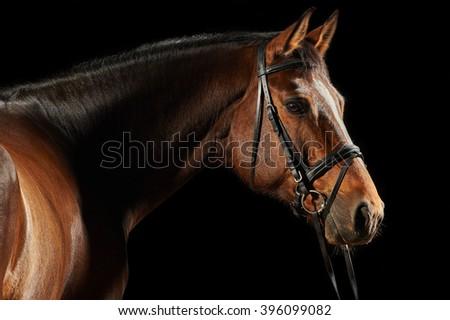 Portrait of a bay sport dressage horse - stock photo