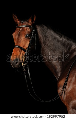 Portrait of a bay sport horse