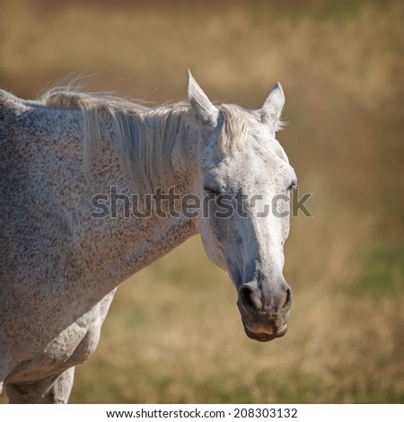 Portrait of a beautiful Akhal Teke horse