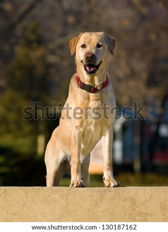 portrait of a beautiful and happy  labrador retriever dog in the park - stock photo