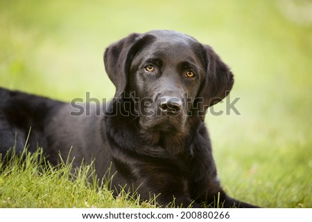 Portrait of a beautiful black lab puppy lying in the grass. - stock photo