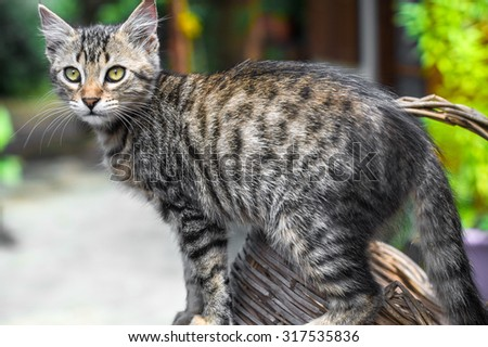 portrait of a beautiful cat bengal.closeup - stock photo