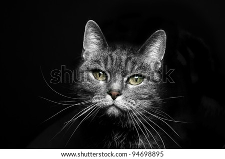 portrait of a beautiful cat on a black background - stock photo