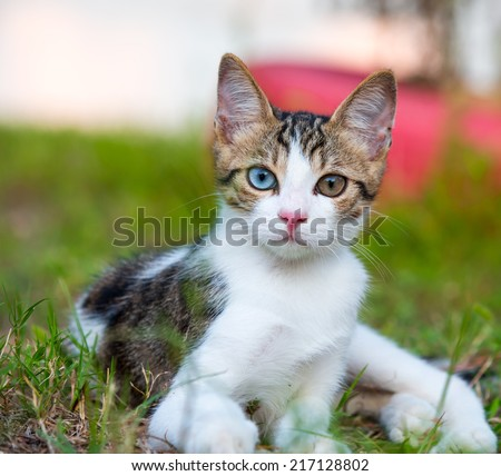 Portrait of a beautiful cat with originally multicolored eyes  - stock photo
