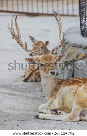 Portrait of a beautiful deer in the zoo - stock photo