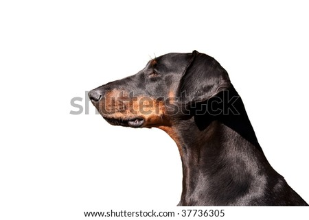 Portrait of a beautiful Dobermann in gleaming condition