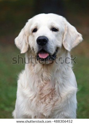 Portrait of a beautiful dog of breed golden retriever