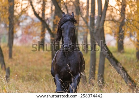 Portrait of a beautiful Frisian stallion in autumn landscape. - stock photo