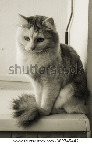 Portrait of a beautiful furry white cat in sepia colors