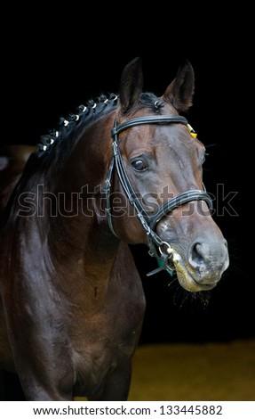 Portrait of a beautiful German stallion - breeder horse in russian luxury business stubble on dark background . - stock photo