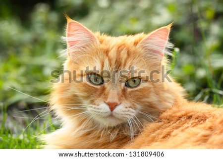 Portrait of a beautiful ginger cat (closeup) in the garden - stock photo