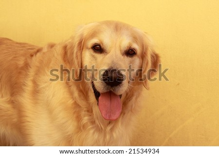 Portrait of a beautiful golden retriever photographed with available light