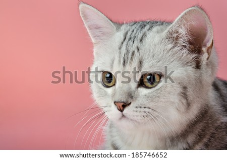 Portrait of a beautiful grey-striped kitten, on a pink background. - stock photo