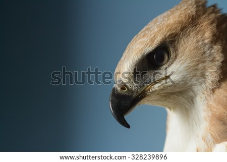 portrait of a beautiful hawk - stock photo
