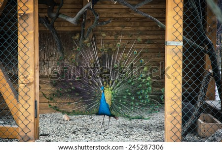 Portrait of a beautiful Peacock (Pavo cristatus). Animal theme. - stock photo