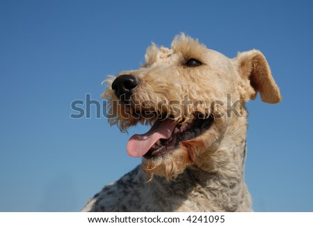 portrait of a beautiful purebred fox terrier in a blue sky