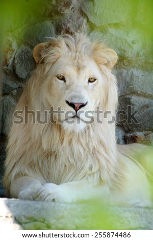 Portrait of a Beautiful Serene White Lion - stock photo