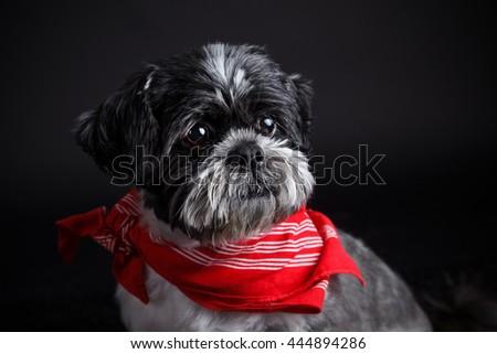 Portrait of a beautiful shih tzu dog  - stock photo