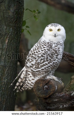 portrait of a beautiful snow owl (Bubo scandiacus) - stock photo