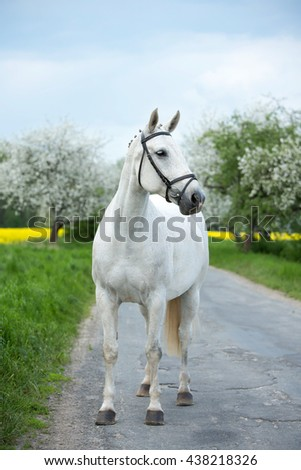 Portrait of a beautiful white mare in the spring countryside - stock photo
