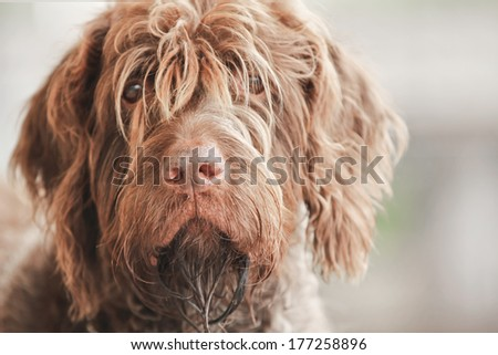 Portrait of a beautiful wirehaired pointing griffon - stock photo
