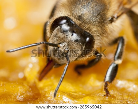 Portrait of a bee on a honeycomb - stock photo