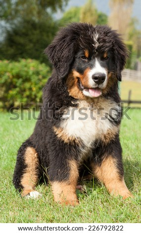 Portrait of a Bernese mountain dog, outdoor - stock photo