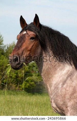 Portrait of a big horse in the meadow - stock photo