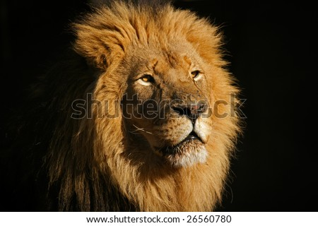 Portrait of a big male African lion (Panthera leo), against a black background - stock photo