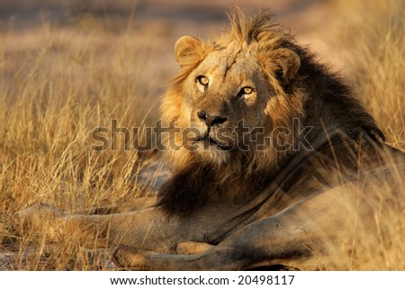 Portrait of a big male African lion (Panthera leo), Sabie-Sand nature reserve, South Africa - stock photo