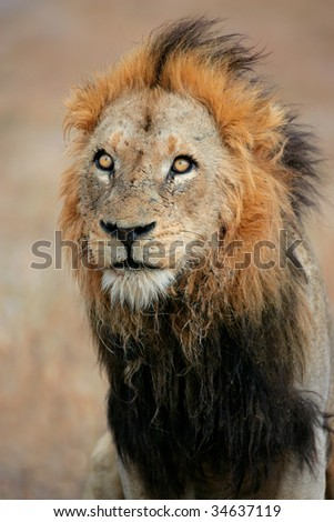 Portrait of a big male African lion (Panthera leo), Sabie-Sand nature reserve, South Africa