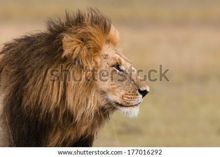 Portrait of a big male lion in Kenya - stock photo