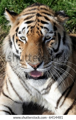Portrait of a big male tiger