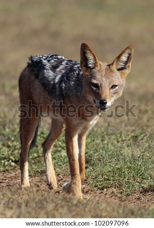 Portrait of a black backed jackal taken as he paused and looked straight into the camera. This was taken in Addo elephant national park,eastern cape, south africa - stock photo