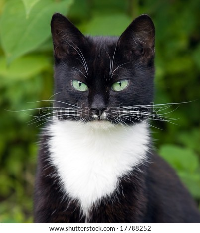 Portrait of a black cat with green eyes and a white jabot - stock photo