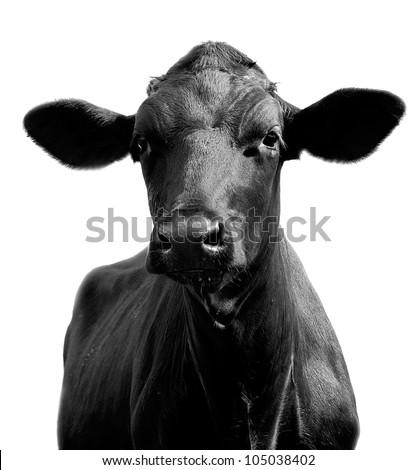Portrait of a black cow - stock photo