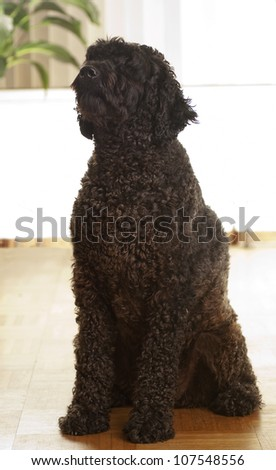 Portrait of a black dog in the house - stock photo