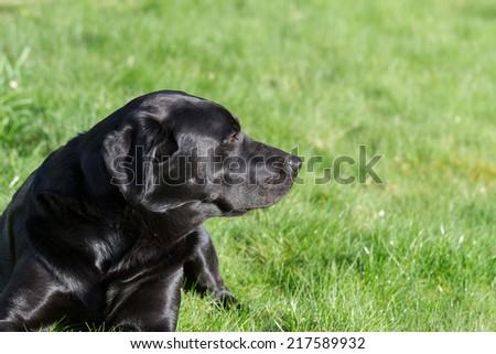 Portrait of a Black Labrador Retriever Dog Outdoors.Copy Space. - stock photo