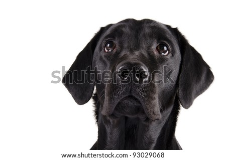 Portrait of a black Labrador Retriever looking up (isolated on white) - stock photo