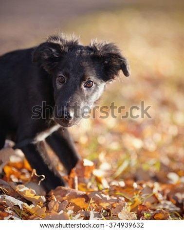 Portrait of a black not purebred puppy with autumn leaves. - stock photo