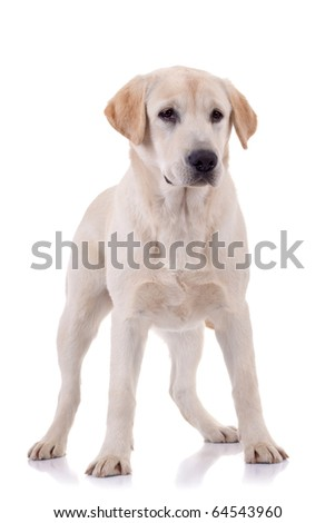 Portrait of a blond young puppy standing. Isolated on white - stock photo