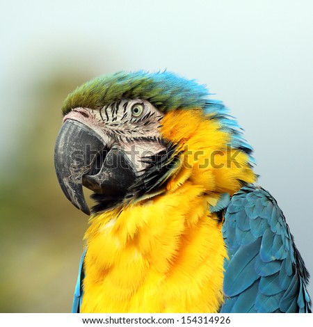 Portrait of a Blue and Gold Macaw
